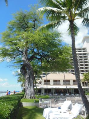 0824 halekulani kiawe tree live
